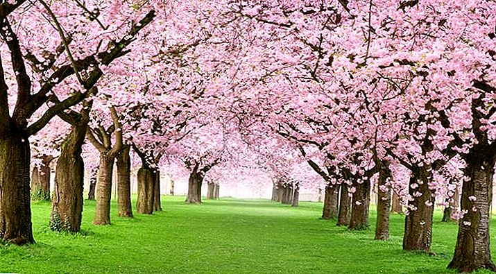 Opwindend nieuws! Shillong organiseert India's 2e Cherry Blossom Festival