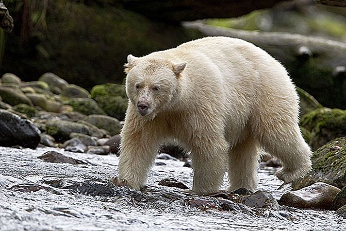 Sisi liar Kanada: Great Bear Rainforest